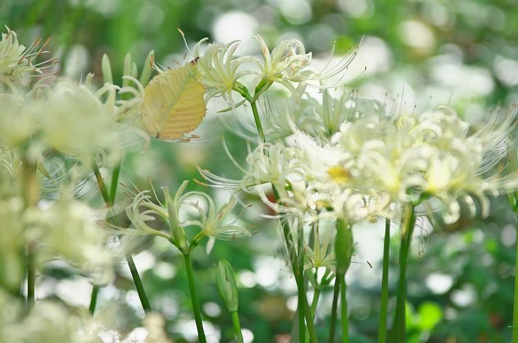 彼岸花が咲く季節 5