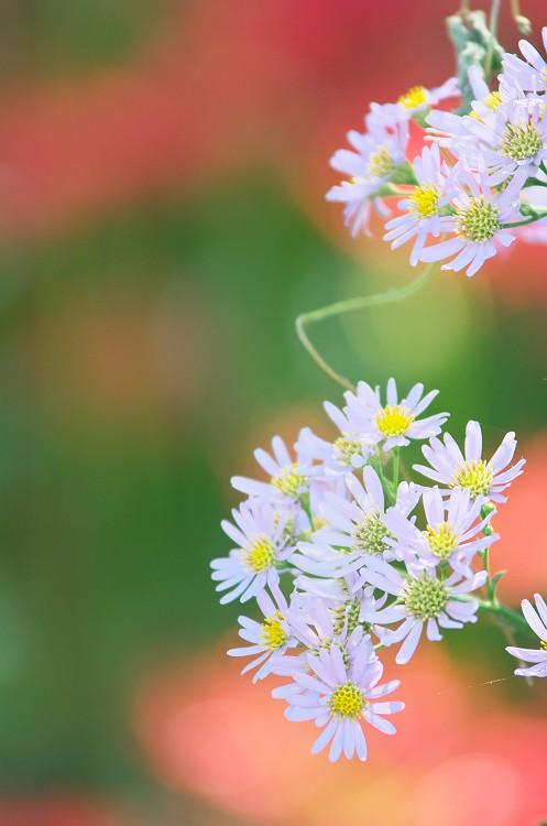 彼岸花が咲く季節 6