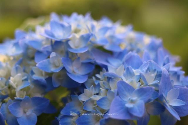 紫陽花 エンドレスサマー