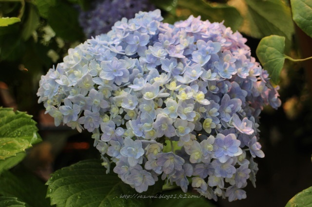 紫陽花 テマリテマリ
