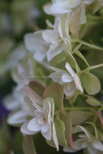 紫陽花 柏葉アジサイ