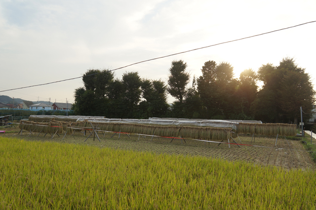 日野のタンボ、小学校の分を残し、稲刈り終了