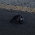 長野駅の鳩