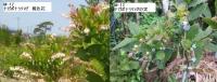 M-12ナガボナツハゼの桃色花