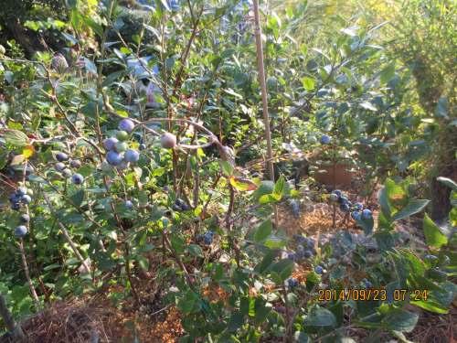 ナガボナツハゼの、きらり花かんざし