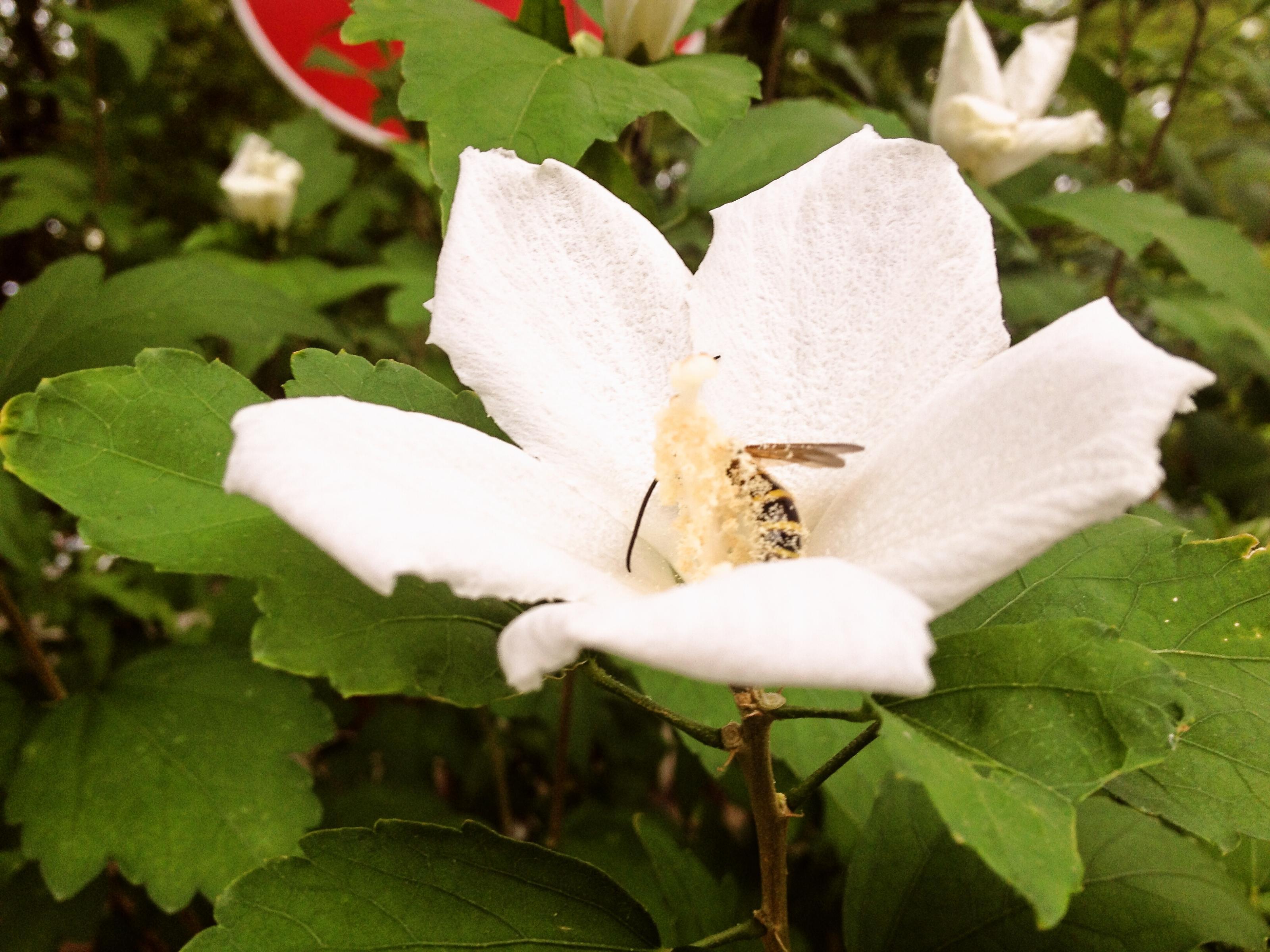 ムクゲ作業所にて勤労中のミツバチさん(たぶん)