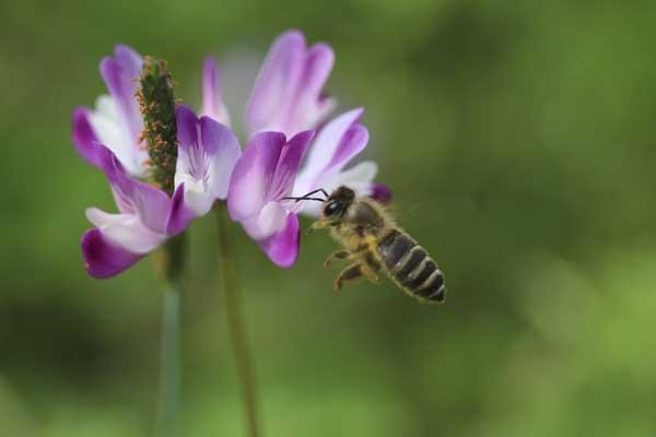 レンゲとミツバチ1