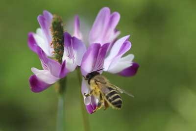 レンゲとミツバチ2