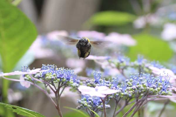 アジサイとクマバチ