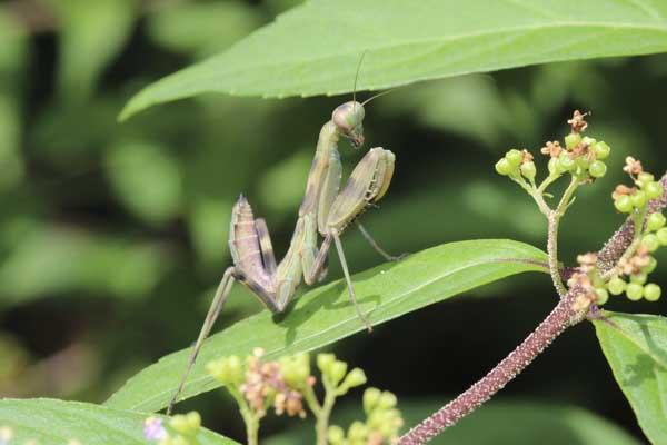ハラビロ幼虫1
