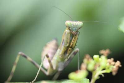 ハラビロ幼虫2