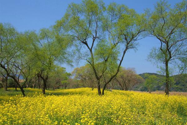 ナノハナ ( 菜の花 )