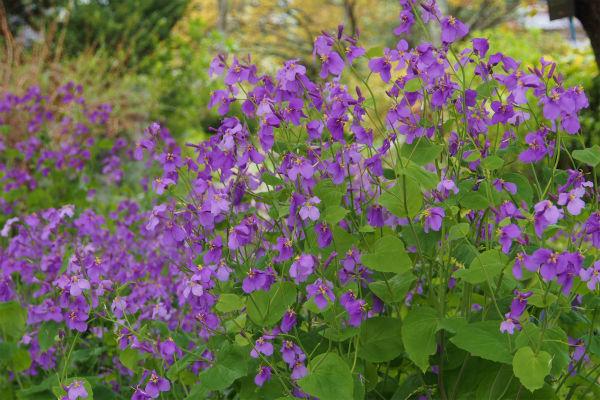 ムラサキハナナ ( 紫花菜 )