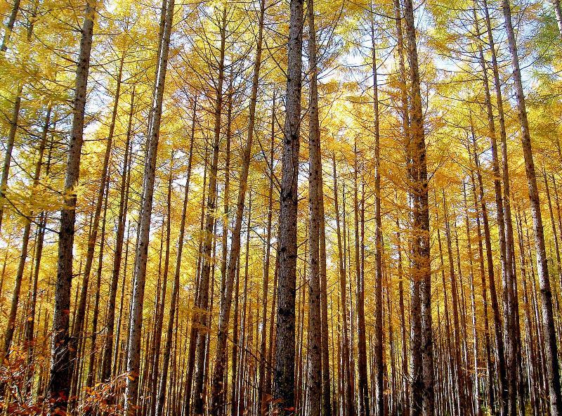 黄金色のカラマツ林