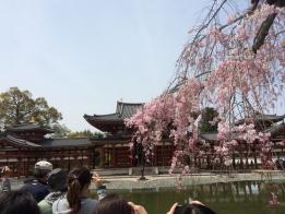 Temple_Cherry.jpg