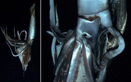 giant-squid_2444573c.jpg