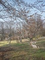 20140416桜0