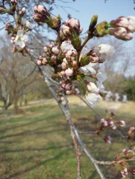 20140416桜