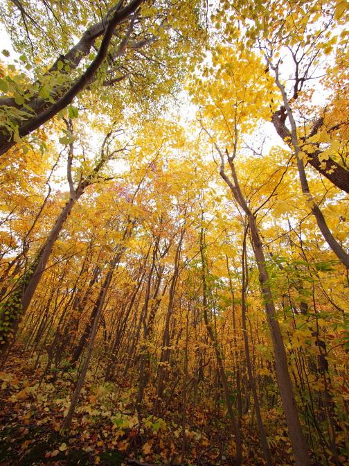 黄金色に輝く木々