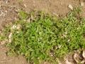 八重咲ミツバツチグリ
