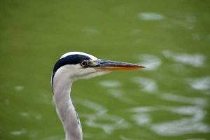 Big Bird (Grey Heron)