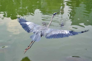 Big Bird (Grey Heron)