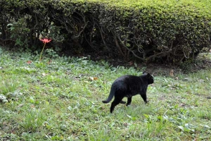 Black Cat and Lone Spider Lily