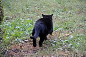 Black Cat Walking Away