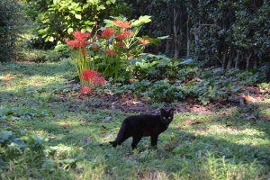 Black Cat and Spider Lilies