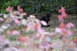 Black Cat and New Rose Leaves