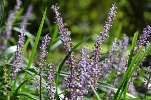 Liriope muscari Lilyturf
