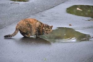 Cat Drinking Rainwater