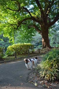 Sakura-chan The Cat and Ginkgo Tree