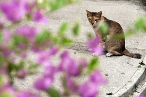 Bougainvillea Cat, Singapore