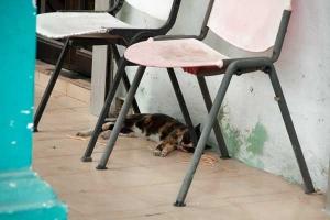 Singapore Five-Foot-Way Cat