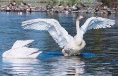 swan01_1.jpg