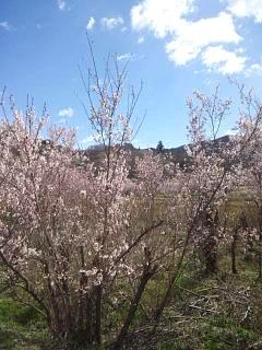 20140405花見山(その1)