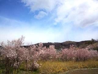 20140405花見山(その3)