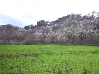 20140405花見山(その7)