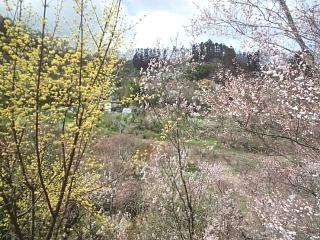 20140405花見山(その13)