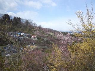 20140405花見山(その15)