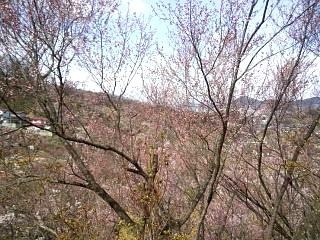 20140405花見山(その16)