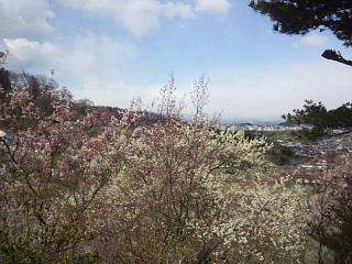 20140405花見山(その18)