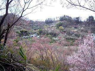 20140405花見山(その20)