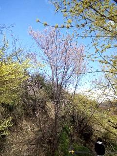 20140405花見山(その31)