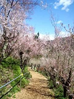 20140405花見山(その36)