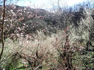20140405花見山(その37)