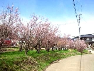20140405花見山(その55)