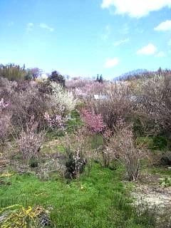 20140405花見山(その59)