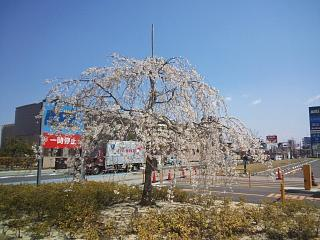 20140412開成山桜(その1)